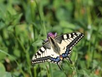 10.Otakárek fenyklový (Papilio machaon)