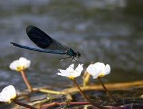 106.Motýlice lesklá - samec (Calopteryx splendens)