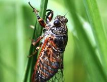 109.Cikáda chlumní (Cicadetta montana)