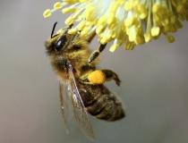 114.Včela medonosná (Apis mellifera L.)