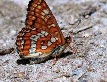 120.Rub křídel hnědáska osikového (Euphydryas maturna)