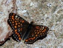 121.Hnědásek osikový (Euphydryas maturna)