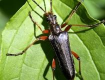 122.(Stenocorinus meridianus L.)