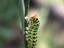 123.Housenka otakárka fenyklového (Papilio machaon L.)