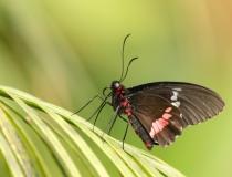 13.Otakárek (Papilio anchisades)
