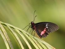 14.Otakárek (Papilio anchisades)