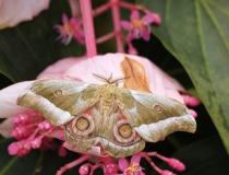 16.Martináč čínský (Antheraea pernyi)