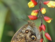 19.Babočka- Caligo memnon (Owl butterfly)