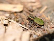 Svižník polní (Cicindela campestris)