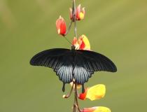 21.Otakárek- Papilio memnon (Great mormon)