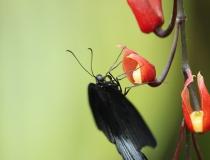 22.Otakárek- Papilio memnon (Great mormon)