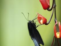 23.Otakárek- Papilio memnon (Great mormon)