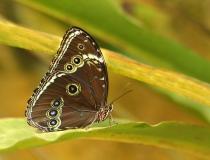 26.Babočka-Blue morpho (Morpho peleides)