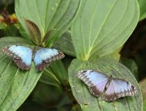 27.Babočka-Blue morpho (Morpho peleides)