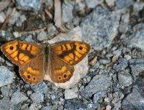 35.Okáč zední-samec (Lasiommata megera)