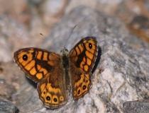 36.Okáč zední-samec (Lasiommata megera)