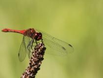44.Vážka rudá- samec (Sympetrum sanguineum)