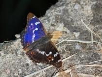 64.Batolec červený (Apatura ilia)