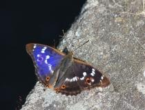 65.Batolec červený (Apatura ilia)