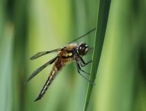 69.Vážka čtyřskvrnná-samec (Libellula quadrimaculata)