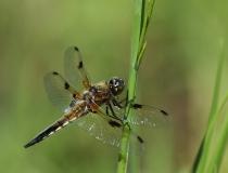 70.Vážka čtyřskvrnná-samec (Libellula quadrimaculata)