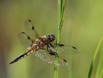 71.Vážka čtyřskvrnná-samec (Libellula quadrimaculata)