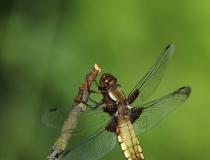 73.Vážka ploská-samice (Libellula depressa)
