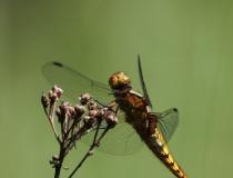 74.Vážka ploská-samice (Libellula depressa)