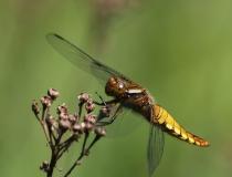 75.Vážka ploská-samice (Libellula depressa)