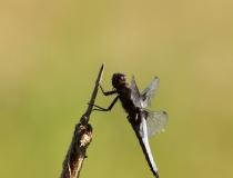 76.Vážka ploská-samec (Libellula depressa)