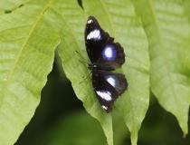 79.Babočka (Hypolimnas bolina)