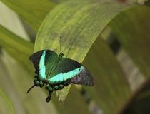 80.Otakárek (Papilio palinurus)