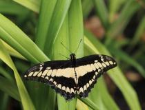 81.Otakárek (Papilio cresphontes)