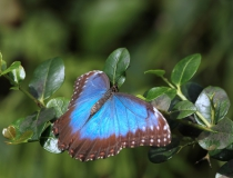 82.Babočka-Blue morpho (Morpho peleides)