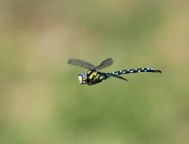 86.Šídlo modré-samec (Aeshna cyanea)
