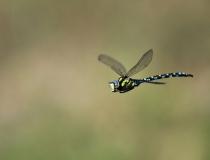 87.Šídlo modré-samec (Aeshna cyanea)