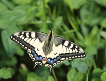 9.Otakárek fenyklový (Papilio machaon)