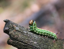 90.Housenka lišaje borového (Hyloicus pinastri)