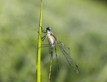 94.Šídlatka páskovaná-samec (Lestes sponsa)