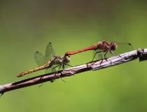 96.Páření vážky obecné (Sympetrum vulgatum)