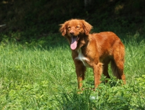 23.Nova scotia duck tolling retriever