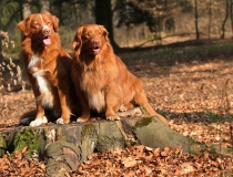 38.Nova scotia duck tolling retriever
