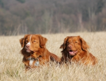 39.Nova scotia duck tolling retriever