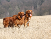 40.Nova scotia duck tolling retriever