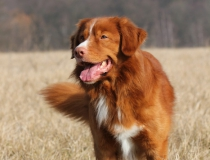 41.Nova scotia duck tolling retriever