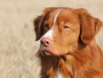 42.Nova scotia duck tolling retriever