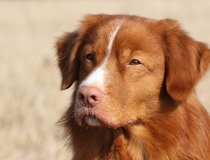 43.Nova scotia duck tolling retriever