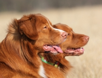 45.Nova scotia duck tolling retriever