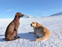 47.Německý ohař krátkosrstý a labradorský retriever