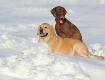 48.Labradorský retriever a německý ohař krátkosrstý